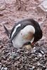 Birth of a Penguin 1
