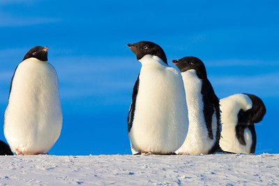 Bunch of molting Adelie penguins near Hut Point