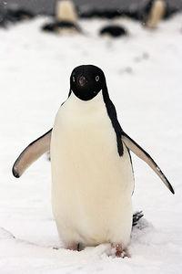 Adelie Penguin encounter
