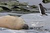Elephant Sleeping Penguin Tiptoeing