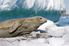 Crabeater Seal 1