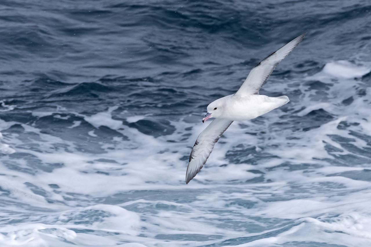 Southern Fulmar / Drake Passage