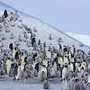 Emperor Penguins are as elegant and breathtaking a sight as one can imagine. The chicks climb the hill to eat fresh snow. Snow Hill, Antarctica, 2007