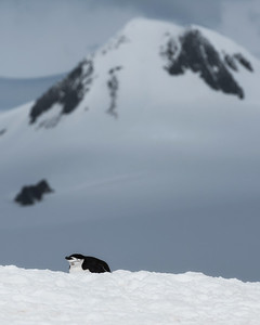 Chinstrap Penguin - Half Moon Island