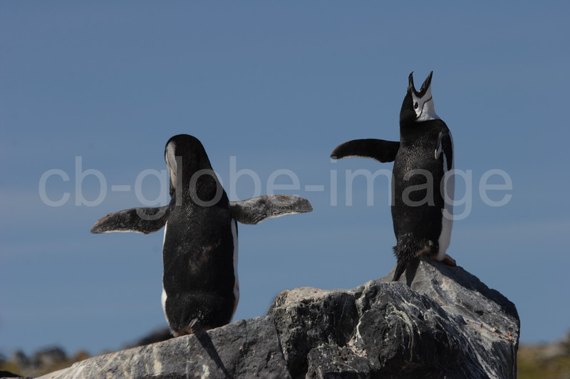 Chinstrap penguin pair (Pygoscelis antarctica) at the mating dance at Port Lockroy.