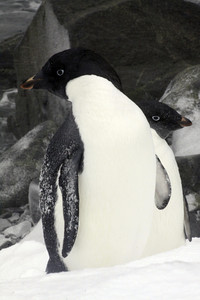 Friends of a Feather - Antarctica