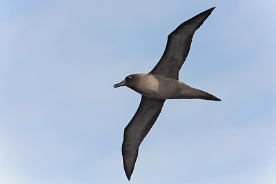Light Mantled Albatross - Drake Passage