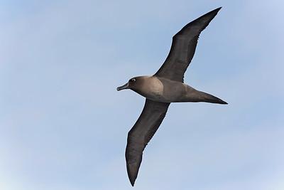 Light Mantled Albatross - Drake Passage