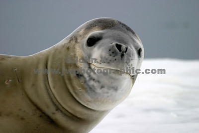 leopard seal_1