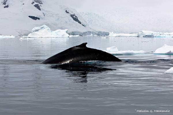 Humpback, Paradise Bay, Antarctica