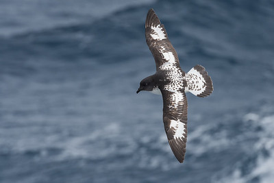 "Cape (or ""Pintado"") Petrel - Drake Passage"