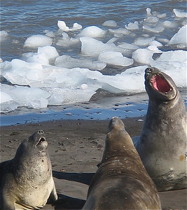 M/V Ushuaia, Antarpply Expedition 2005, Antarctica. Hannah Point, Elephant seals.