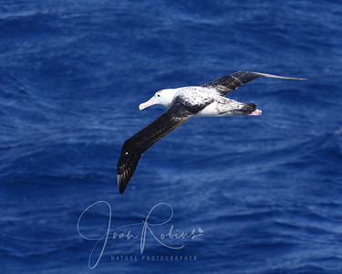 Oct 27  The patch lets us enjoy the rolling and the birds - a Wandering Albatross