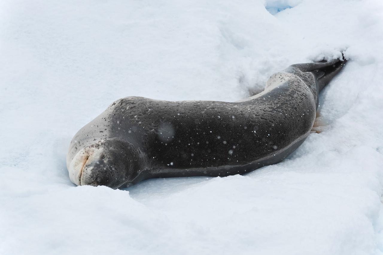 Leopard Seal.  Very big, dangerous predator.