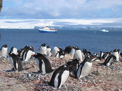 M/V Ushuaia, Antarpply Expedition 2005, Antarctica. Hannah Point, Gentoo pinguins.
