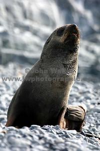 fur seal half moon_1