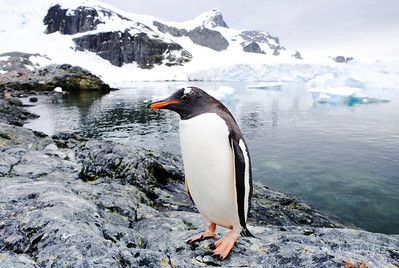 Gentoo poses on Cuverville