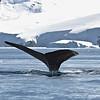Humpback Whale, Cierva Cove, Antarctica