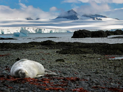 Weddell Seal Lounging at Brown's Bluff, Antarctica