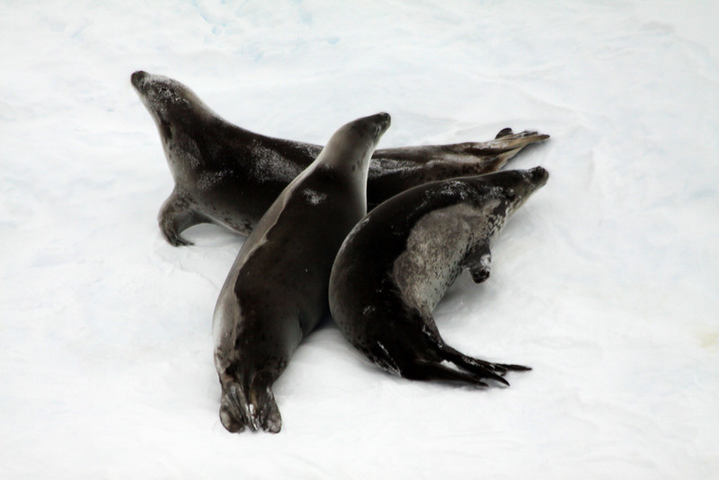 Group Ice Nap of Crabeater Seals - Antarctica
