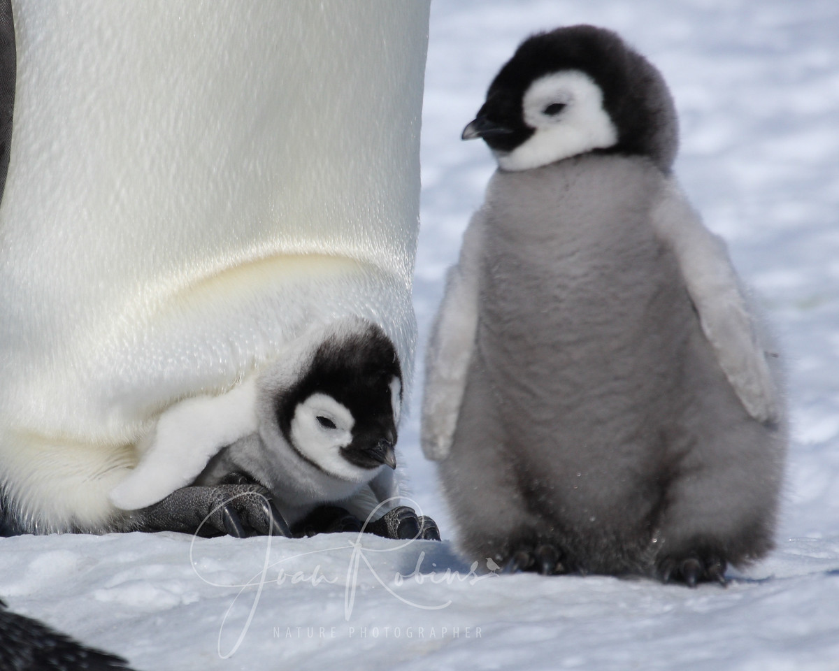 One Emperor chick still carried about on parent feet, Snow Hill, Antarctica, 2007