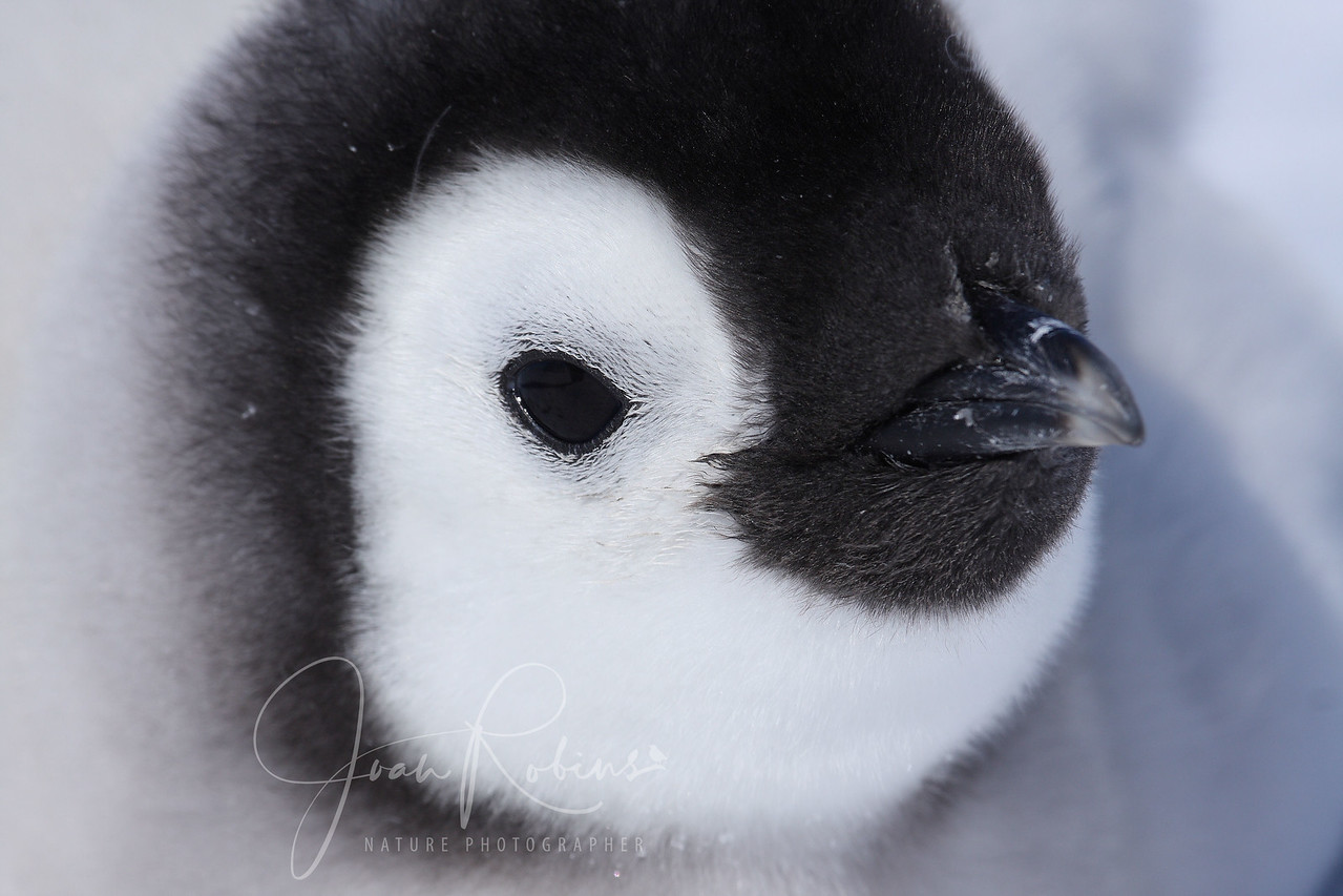 Emperor Penguin chick, Snow Hill, Antarctica, 2007