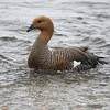 But first a trip to the nearby national park<br /> <br /> Greater Upland Goose
