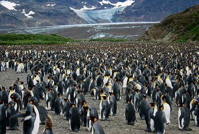 King Penguins on Salisbury Plains, South Georgia
