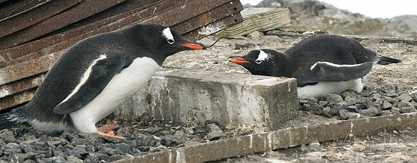 Shoo!  Gentoo's at Port Lockroy