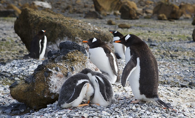 Concerned Parents Gentoo's rearing their young