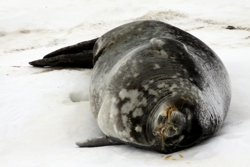 A Very Wide Weddell Seal - Antarctica