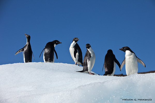 Look Everywhere!, Adellie Penquins, Devil Island, Antarctica