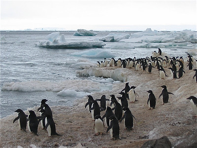 M/V Ushuaia, Antarpply Expedition 2005, Antarctica. Adelie pinguins, Paulet Island.