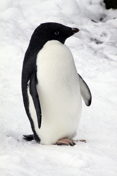Adelie Penguin in Pose - Antarctica
