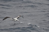 Wandering Albatross gaining speed