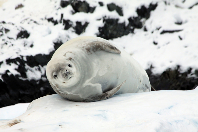 Satiated Seal - Antarctica