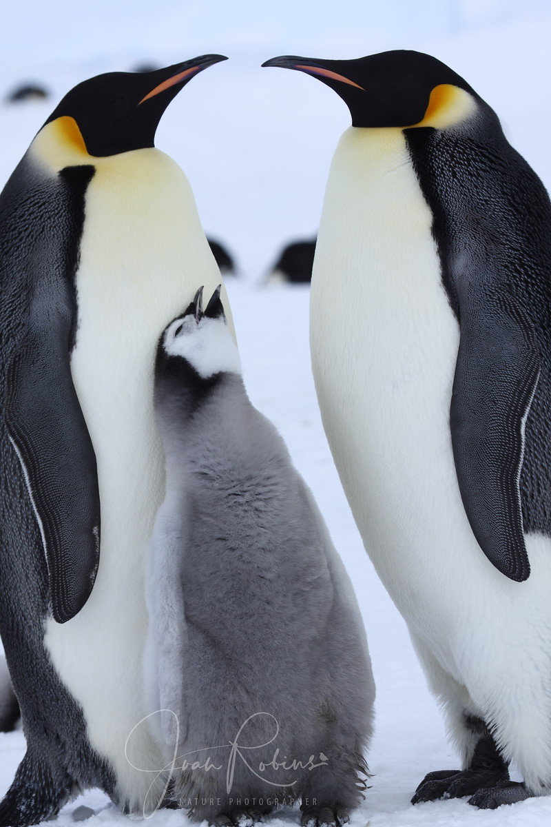 Emperor Penguin family, Snow Hill, Antarctica, 2007