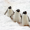 The Gentoo Penguin (Pygoscelis papua) is a genus of long-tailed penguins. They will grow up to 80 cm and are very good swimmers. His name has the penguin donkey-like cries of his. Gentoo Penguins on their delicately shaped path through the snow to the sea