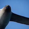 Who is looking at who !! Sooty Albatross, Southern Ocean