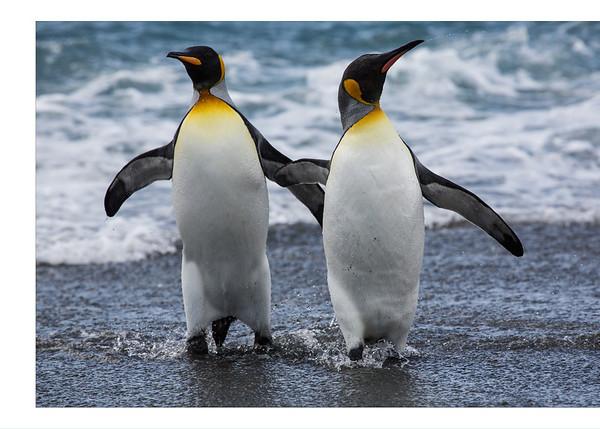 King Penguins.... Man that was brisk.