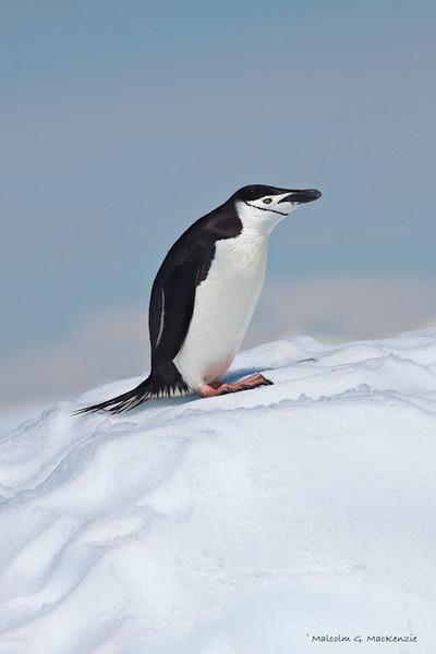 Chinstrap Penguin, Cierva Cove, Antarctica