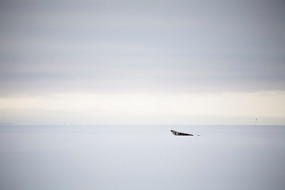 Seal on the ice at Cape Evans.