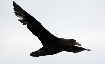 Giant Petrel in Flight - Antarctica