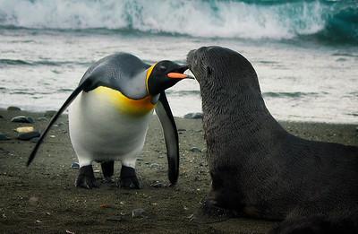 King Penguin having a piece of mind with Antarctic Fur Seal pup, South Georgia