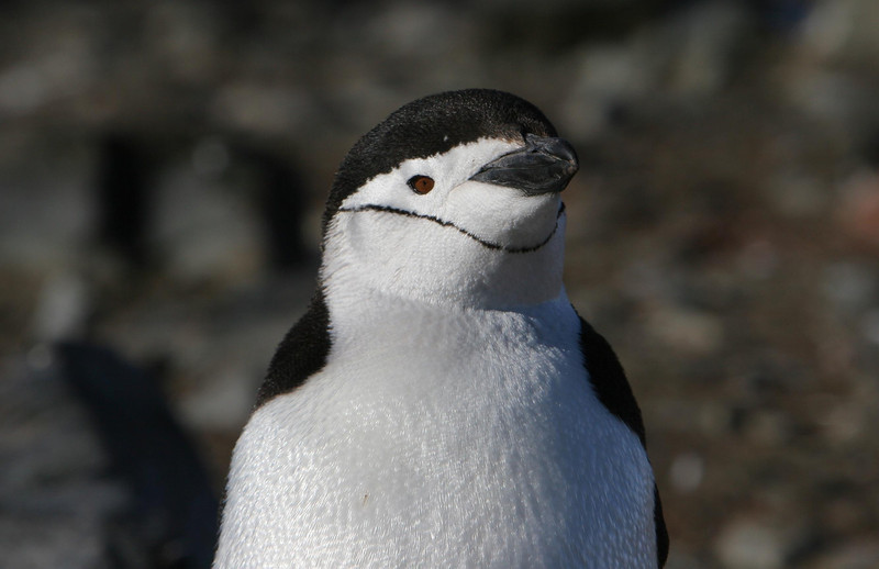 A chinstrap penguin at Hannah Point