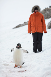 Penguins have the right of way.  Not allowed to get within 15 feet of them.  But if they approach you?