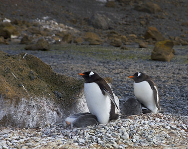 Gentoo Penguins on Brown Bluff