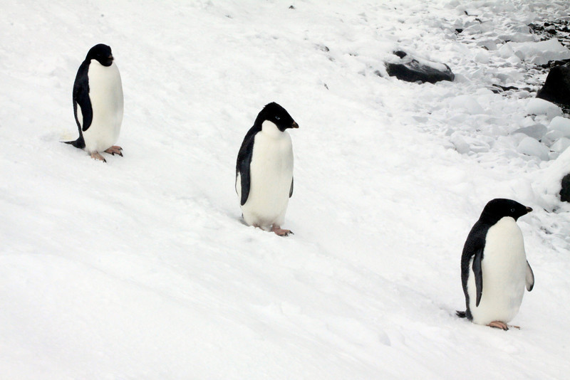 One, Two, Three Adelie - Antarctica