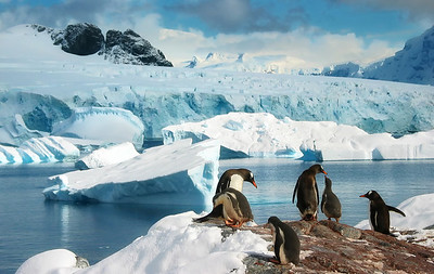 Asking for a little food.  Gentoo Penguins, Antarctica