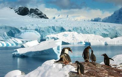 Asking for a little food.  Gentoo Penguins, Antarctica